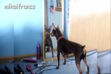 Hunde bellen ihr Spiegelbild an