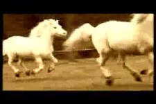 Nic-Zwei Weisse Pferde