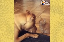 Watch This Kitten Grow Up with a Pit Bull -