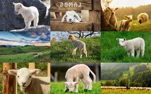 Lambs - Lämmer