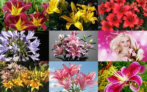 Lilies - Lilien
