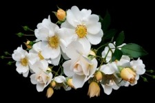 Blütenträume 03