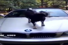 Eine Ziege springt aufs Auto