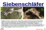 ungewöhnliche-Tiere---Siebenschläfer.pps auf www.funpot.net