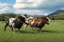 Kühe im Weihnachtslied-Fieber