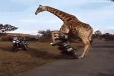 Giraffe will auch mal fahren