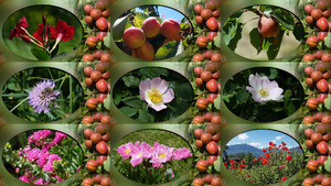 Walliser Aprikosen