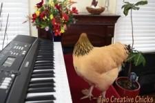 Hühner-Musik