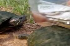 Schon mal Schildkröten gesehen, die eine Pizza essen?