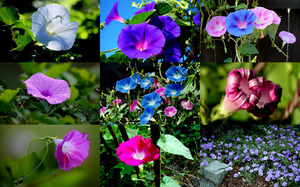 Morning Glories - Prunkwinde