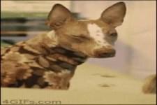 Hund auf Droge