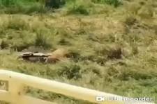 Zebra gegen Löwen