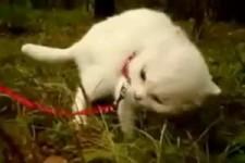daramtic-kitten - Drama-Katze