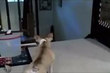 Bulldogge vs Katze
