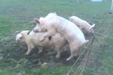 Schweinestrom