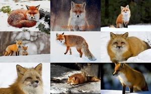 The Fox In Winter 1 - Der Fuchs im Winter 1