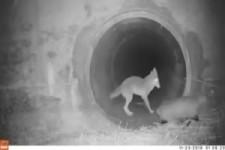 Ein Koyote und sein Dachs-Kumpel