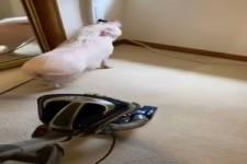 Schwein zieht den Stecker